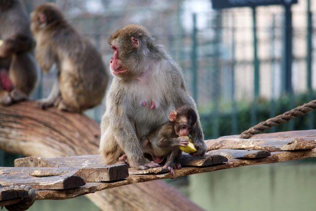 scimpanze' Con Il Suo piccolo
