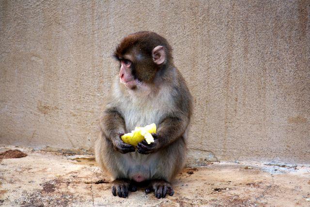 scimpanze' comune