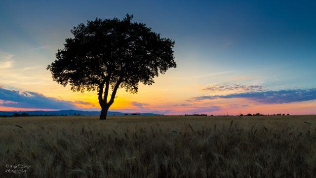 Campo di grano al crepuscolo